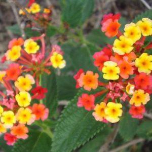 Lantana coloured flowers