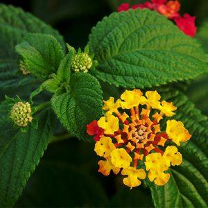 Lantana yellow flower