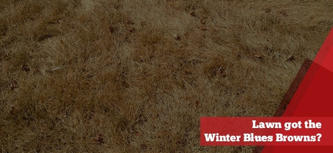 Lawn suffering from the winter browns